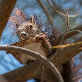 1529168374_Squirrel Eating cone 1