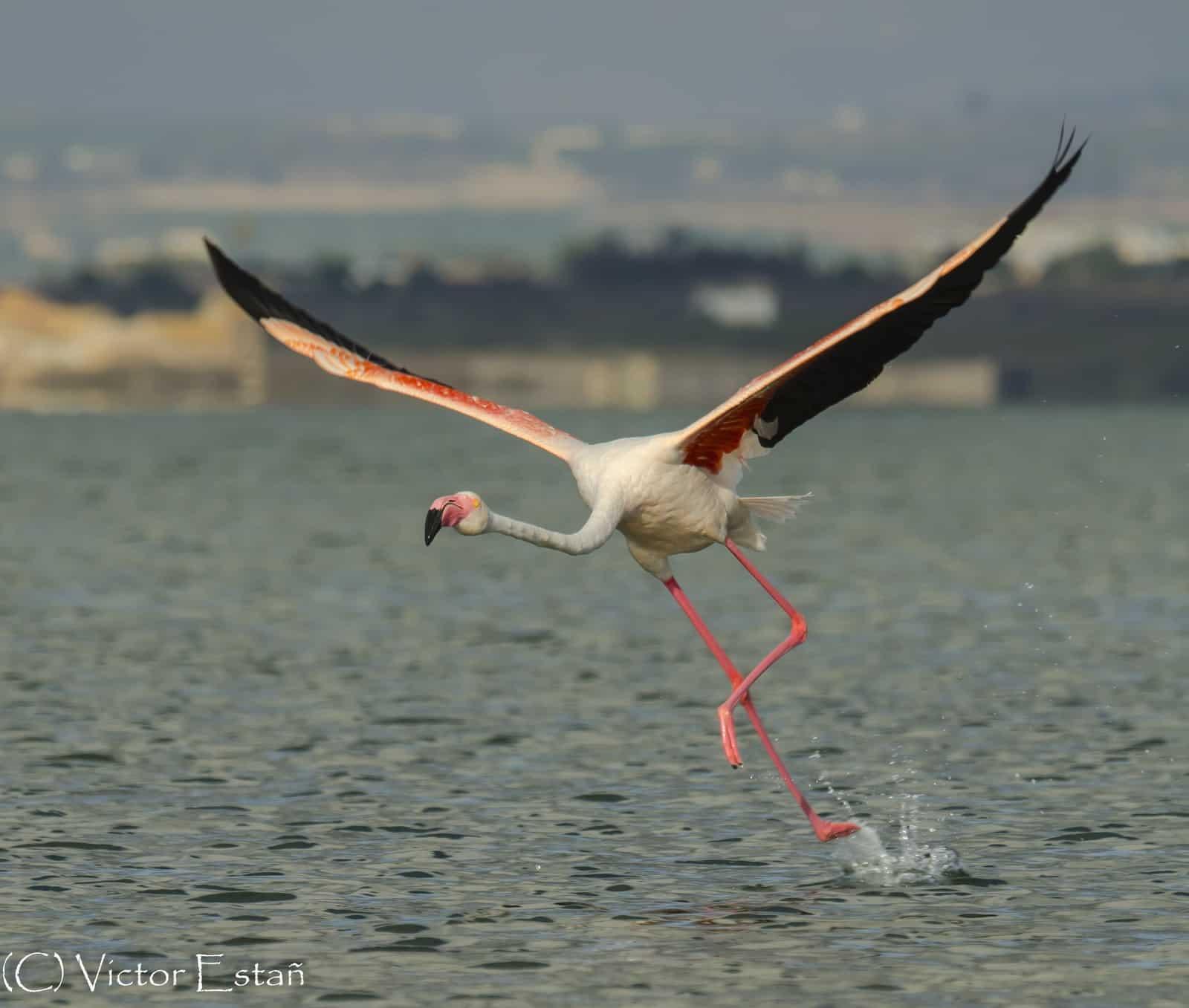 1405614825_Flamenco comun (Phoenicopterus roseus)
