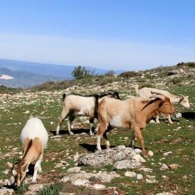 1435407740_montcabrer-cabras