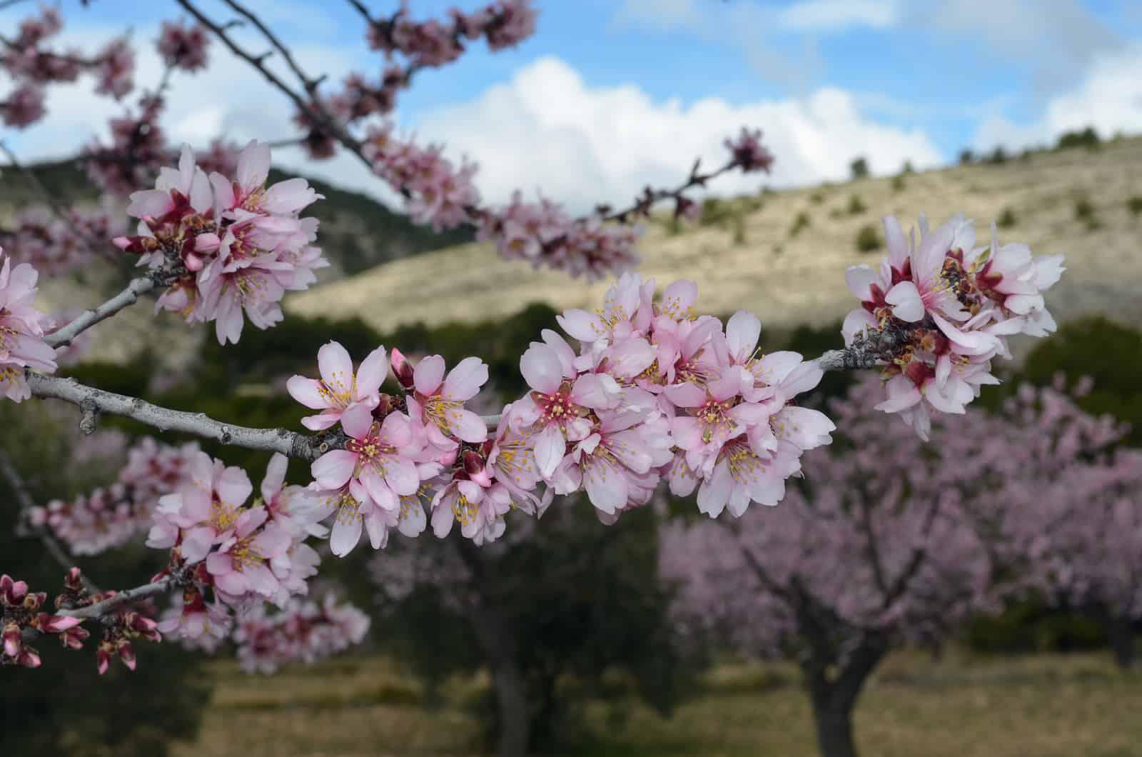 1441109099_Flor de Almendro