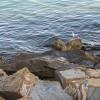 1442065712_gaviota en las rocas