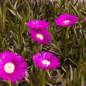 1493308620_flores rosadas_1