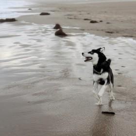 1504344993_Husky en la playa