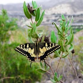 1504972699_mariposa amarilla