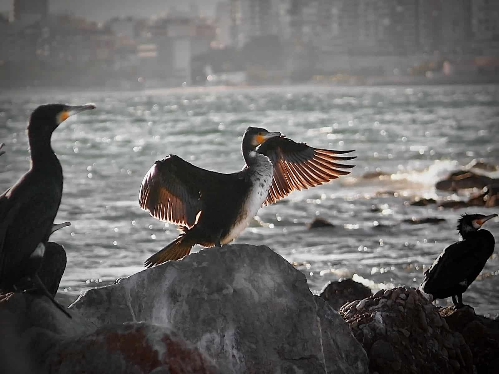 cormoranes2